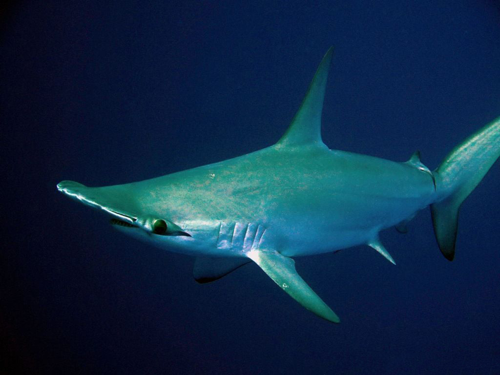 Crociere Sub Red Sea Sharks Mar Rosso   Itinerario: siti di immersione Profondo Blu